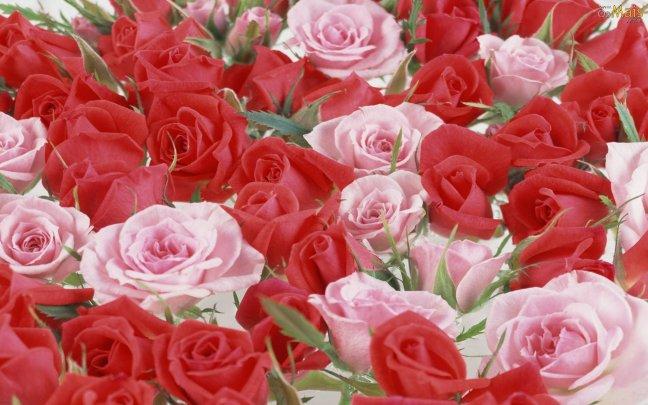 rosas-lindas